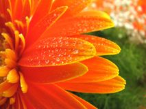 Drops on gerbera. Water drops on close-up gerbera royalty free stock photos