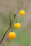 Drops of Gold. As winter approaches, a horse nettle's demise is clearly visible. Thorns that once covered its prickly stalks have nearly all fallen away. The royalty free stock images