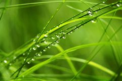 Drops on a grass. Drops of dew on a grass royalty free stock photography