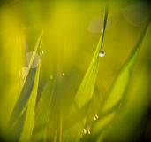 Drops on a grass Royalty Free Stock Photo