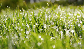 Drops on the grass. Royalty Free Stock Image