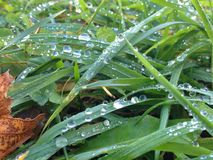 Drops in grass Stock Image