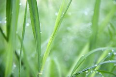 Drops on the green grass after rain. Water drop on the grass lea stock photos