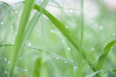 Drops on the green grass after rain. Water drop on the grass lea royalty free stock photography