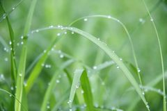 Drops on the green grass after rain. Water drop on the grass lea stock images
