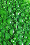 Drops on a green leaf Royalty Free Stock Image