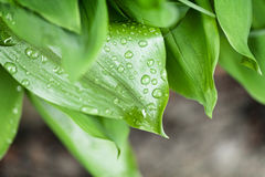 Drops on green leafage. Water drops on green plant leafage Stock Images