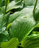 Drops on green leaves. Water drops after rain on green leaves stock photo