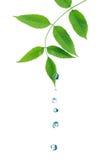 drops green leaves water Στοκ εικόνα με δικαίωμα ελεύθερης χρήσης