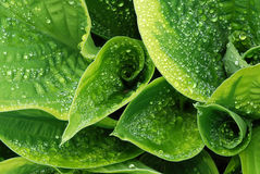 Drops on hosta leaf Stock Photography