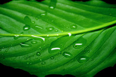 Drops on a leaf. Drops on a green juicy leaf close up royalty free stock image