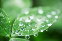 Drops on a leaf. In morning dew in the spring Royalty Free Stock Photography