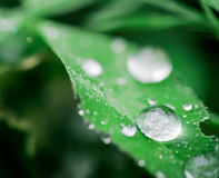 Drops on a leaf 2. Drops on a leaf in morning dew in the spring Royalty Free Stock Photos