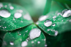 Drops on a leaf. In morning dew in the spring Stock Images