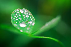 Drops on a leaf 6. Drops on a leaf in morning dew in the spring Royalty Free Stock Images