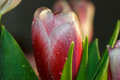 Drops on the leaf of a Tulip. Drops on pink leaf Tulip Royalty Free Stock Image