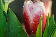 Drops on the leaf of a Tulip. Drops on pink leaf Tulip Stock Photography