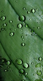 Drops on a leaf Royalty Free Stock Image