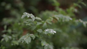 Drops on Leaves stock footage
