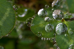 Drops on leaves. A macro view of drops on leaves Royalty Free Stock Images