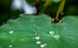 Drops on the lotus leaf Royalty Free Stock Image