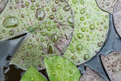 Drops lotus leaf. Drops of water on a lotus leaf Royalty Free Stock Photography