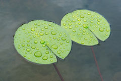 Drops lotus leaf Stock Photography