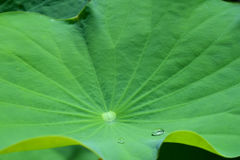 Drops on a lotus leaf. Royalty Free Stock Photography