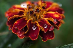 Drops on the marigold after rain stock images