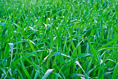 Drops of the morning dew on the green grass. Royalty Free Stock Photos