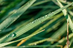 Drops of morning dew on green grass in the morning sun rays close-up royalty free stock image