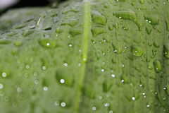 Drops of nature. It was a rainy day. The fresh water in a plant leave Royalty Free Stock Image