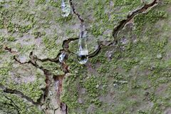 Free Drops Of Resin On The Bark Of An Eastern White Pine Stock Photos - 117336053