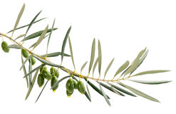 Drops of oil from green olives on branch Stock Photo