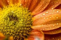 Drops on orange flower Stock Image