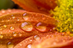Drops over flower Royalty Free Stock Photo