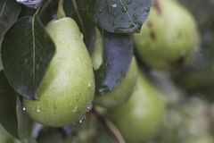 Drops on Pear Royalty Free Stock Image