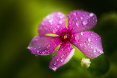 Drops on Periwinkle or Vinca Minor Royalty Free Stock Images