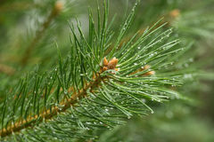 Drops on pine branch Royalty Free Stock Images