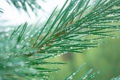 Drops on pine needles Stock Image