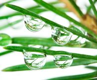 Drops on pine-tree stock photography
