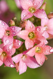 Drops in the pink kalanchoe flowers Stock Images