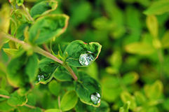 Plant and drops. Drops on a plant's leaves royalty free stock photos