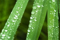 Drops after the rain. Drops in the grass after the rain Royalty Free Stock Photo