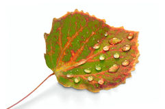 Drops of rain on autumn leaf Stock Image