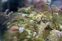 Drops of Rain. An autumn morning and rain drops on leaves Royalty Free Stock Photo