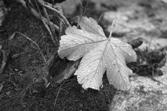 Rraindrops on a fallen leaf monochrome scene. Black and white photography of maple leaf cover by some rainy drops, walking in the forest in morning day of royalty free stock photos