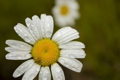 Drops of rain on a daisy. Drops of rain on a white and yellow daisy Stock Photography
