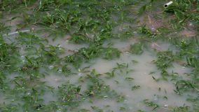 Drops of rain drip onto large puddle. Tropical rainfall in Thailand. Drops of rain drip onto a large puddle. Tropical rainfall in Thailand stock video