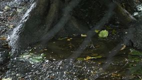 Drops of rain drip into the puddle near the roots of the tree, view through the metal fence stock video footage